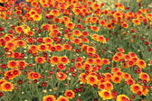 Chrysanthemum — Stock fotografie