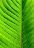 Beautiful green leaf closeup with vein — Stock Photo