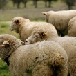 Livestock farm - herd of sheep — Stock Photo