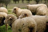 Livestock farm - herd of sheep — Stock Photo