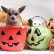 Cute Chihuahua With Halloween Pumpkins and Candy — Stock Photo #13803791