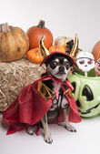 Cute Halloween Devil Dog — Stock Photo
