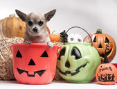 Cute Chihuahua With Halloween Pumpkins and Candy — Stock Photo