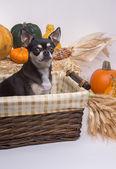 Jesień zbiorów pies — Zdjęcie stockowe