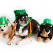 Cute St. Patrick's Day Dog — Stock Photo #19786497