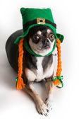 Cute St. Patrick's Day Dog — Stock Photo