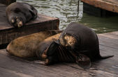 Sea Lions (Phoca Vitulina) at Rest — Stock Photo
