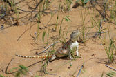 Female of steppe agama  — ストック写真