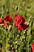 Poppy flower on a blurred background fields — Stock Photo