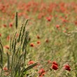 Clump of ears of grain, on a blurred background field of poppies — Stock Photo