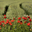 Clump of poppies on blurred background ruts in Rye — Stock Photo #17084757