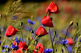 Poppy flower on a blurred background fields with cornflowers — Stock Photo