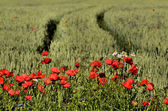 Clump of poppies on a blurred background ruts in the Rye — Stock Photo