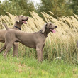 Royalty-Free Stock Photo: Weimaraner in action
