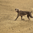 Weimaraner in action — Stock Photo