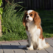 Young cavalier king charles spaniel blenheim a coat — Stock Photo