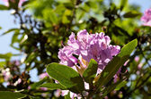 Bad Muskau - park - blooming rhododendrons — Stock Photo