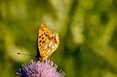 家庭 boloria 三叶草花上的蝴蝶 — 图库照片