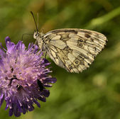 Butterfly drinking nectar on clover blossoms — Stock Photo