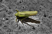 Cricket dying on the sand — Stock Photo