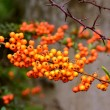Sea buckthorn fruit — Stock Photo