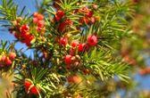 European Yew twigs with fruit — Stock Photo