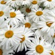 Big white daisy wheels bouquet — Stock Photo
