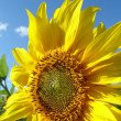 Yellow sunflower blossoming flower head — Stock Photo #18387135