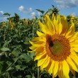 Yellow sunflower blossoming flower head — Stock Photo #18387141