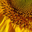 Yellow sunflower blossoming flower head — Stock Photo #18387145