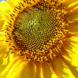 Yellow sunflower blossoming flower head — Stock Photo #18387151