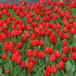 Scarlet red tulips flowers — Stock Photo #18387155