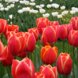 Scarlet red tulips flowers — Stock Photo #18387163