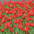 Scarlet red tulips flowers — Stock Photo