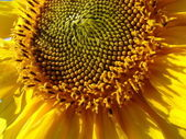 Yellow sunflower blossoming flower head — Stock Photo