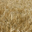 Yellow wheat field background — Stockfoto