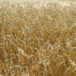 Yellow wheat field background - Stock Photo