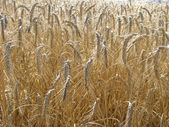 Yellow wheat field background — Stock Photo