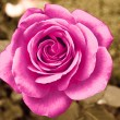 Beautiful rose — Stock Photo #13578600