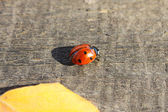 Ladybird with leaf — ストック写真