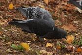 Grey pigeon — Foto de Stock