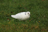 White pigeon — Foto Stock