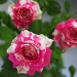 Colorful roses — Stock Photo #20125703
