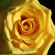 Yellow rose - Zdjcie stockowe