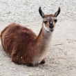 Closeup lama — Stock Photo #22838010