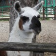 Stock Photo: Closeup lama