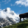 Stock Photo: Black cow in mountain