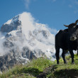Bkack cow in the mountain — Stock fotografie