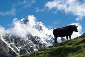 山の黒牛 — ストック写真