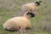 Kruse ovce — Stock fotografie